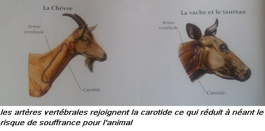 Artere vertebrale carotide