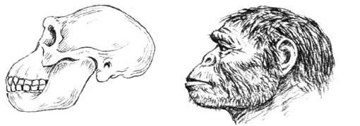 Australopitheque
